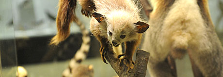 460x160 Evolution Aye-Aye